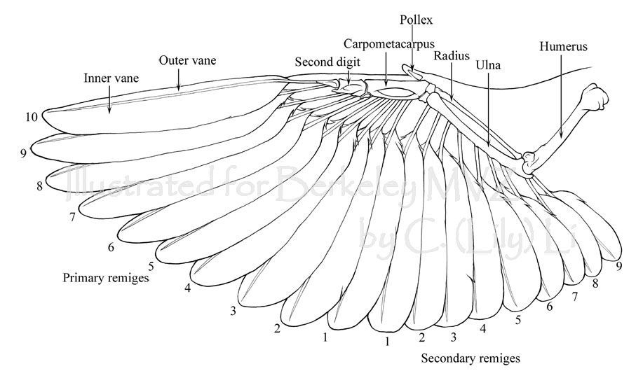 Anatomy of a chicken wing